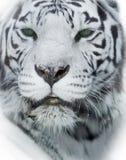 White tiger head closeup. The white tiger head closeup Royalty Free Stock Image