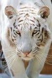 White tiger head closeup. Head shot of a bengal white tiger royalty free stock photo