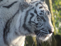 White tiger head Royalty Free Stock Images