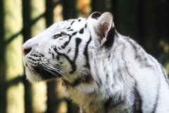 White tiger head. As very nice wild cat Royalty Free Stock Photo