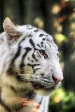 White tiger head. As very nice wild cat Stock Images