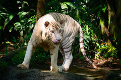 White Tiger in his Habitat Enclosure. White hungry Bengal Tiger stands on a shaded rock in his realistic habitat enclosure royalty free stock image
