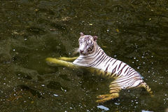White tiger. Indian Bengal White tiger in a Zoo in Jaipur - India Royalty Free Stock Image