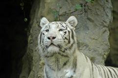 White tiger. Indian white tiger looking around Stock Images