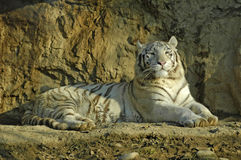 White tiger. Indian white tiger looking around Stock Photo