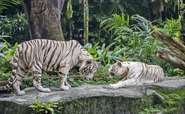 The white tiger is an individual of the Bengal tiger with a congenital mutation not considered a separate subspecies. Indian states of Assam, West Bengal and stock image