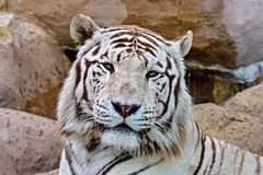 The white tiger is an individual of the Bengal tiger with a congenital mutation not considered a separate subspecies. Indian states of Assam, West Bengal and stock photos