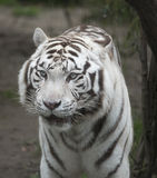 White tiger. With its fierce expression strikes fear Royalty Free Stock Photography