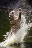 White Tiger Jumps/Jumping. White Tiger/Benegal Tiger Jump to catch/capture flesh royalty free stock photography