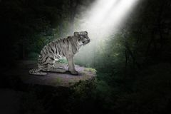 White Tiger, Jungle, Nature, Wildlife, Big Cat royalty free stock photos