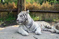 White Tiger. Tiger is the largest cat species stock images
