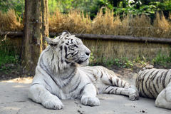 White Tiger. Tiger is the largest cat species royalty free stock images