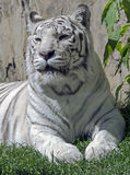 White tiger 3 Stock Image
