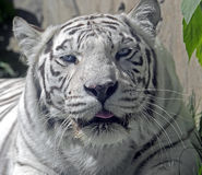 White tiger 11 Royalty Free Stock Photography