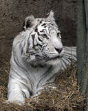 White tiger 14 Royalty Free Stock Images