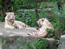 2 White tiger laying down Stock Photos
