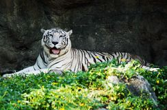 White Tiger. Laying down on grass and sticking out tongue Royalty Free Stock Photography