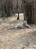 White tiger laying at ground. White tiger sleeping under bamboo tree royal pose.Very perfect close view of tiger Royalty Free Stock Photos