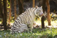 The white tiger Licking Nose with Tongue Royalty Free Stock Photography