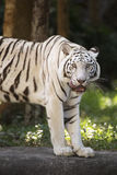 The white tiger Licking Nose with Tongue Royalty Free Stock Photos