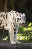 The white tiger Licking Nose with Tongue Royalty Free Stock Image