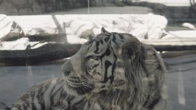 White tiger lies in the cage. Hd stock video footage