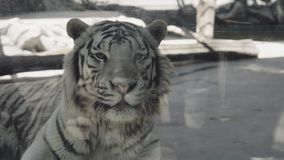 White tiger lies in the cage. Hd stock video
