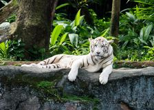 White Tiger. In light with nobody but anytime Stock Photography