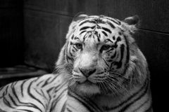 White tiger. Long-term artificial feeding, already did not have the murderous and king of gas, in Chengdu zoo Stock Photo