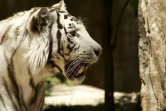 White tiger looking for. Someone: a very large solitary cat with a yellow-brown coat striped with black, native to the forests of Asia Royalty Free Stock Photography