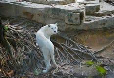 The white tiger Royalty Free Stock Photos