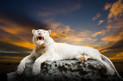 The white Tiger Royalty Free Stock Photo