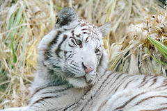 White tiger looks back Stock Images