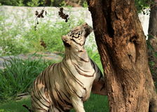White Tiger looks up Royalty Free Stock Image