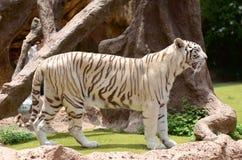 White tiger in Loro Park in Puerto de la Cruz on Tenerife, Canary Islands Stock Photos