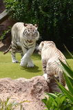 White tiger in Loro Park in Puerto de la Cruz on Tenerife, Canary Islands Stock Photography