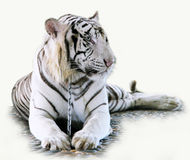 White tiger. Lying on a chain stock image