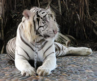 White tiger. Lying on a chain royalty free stock images