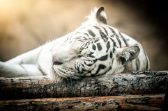 White Tiger Lying Down Royalty Free Stock Image