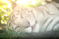White Tiger Lying Down and Looking at Camera Royalty Free Stock Photos