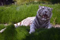 White tiger lying in grass Stock Photography