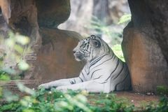 White Tiger lying on ground in farm zoo at national park / Bengal Tiger stock photo