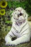 White tiger lying and growls. Strong Stock Image
