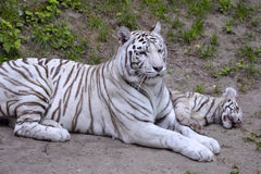 White tiger lying with its little Stock Image