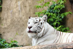 White tiger. Royalty Free Stock Images