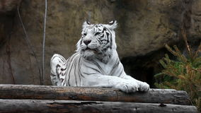 White tiger lying and relaxing outdoors stock footage