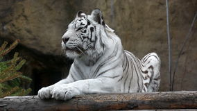 White tiger lying and relaxing outdoors stock video