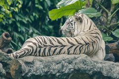 White tiger lying on the rock. stock photography