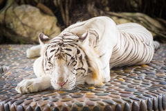 White tiger lying. Summer. Light. Strong Royalty Free Stock Photography