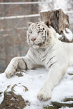 White tiger lying on a tree during winter Stock Photo